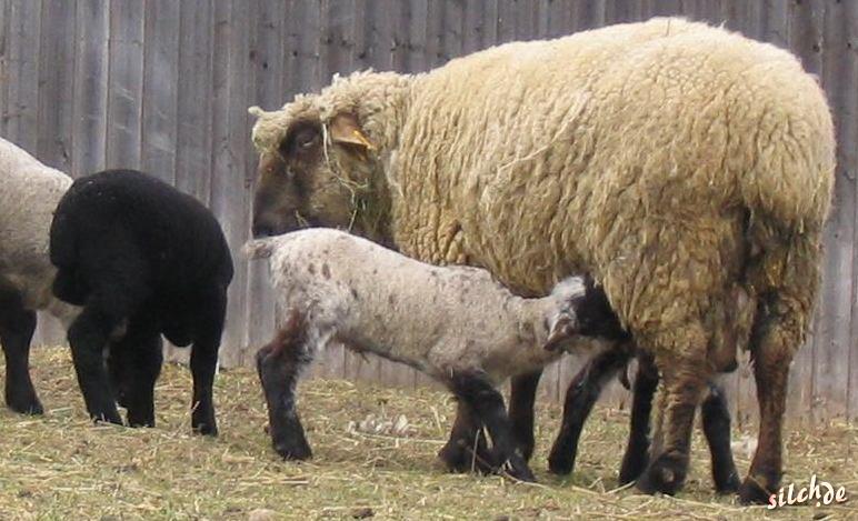 Stillendes Schaf